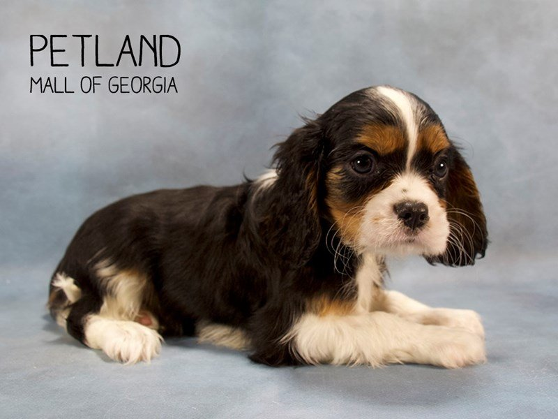 Cavalier King Charles Spaniel-Male-Tri-2198798-Petland Mall of Georgia