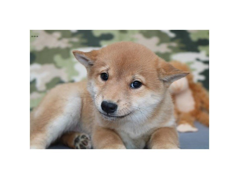 Shiba Inu-DOG-Male-rd-2206224-Petland Mall of Georgia