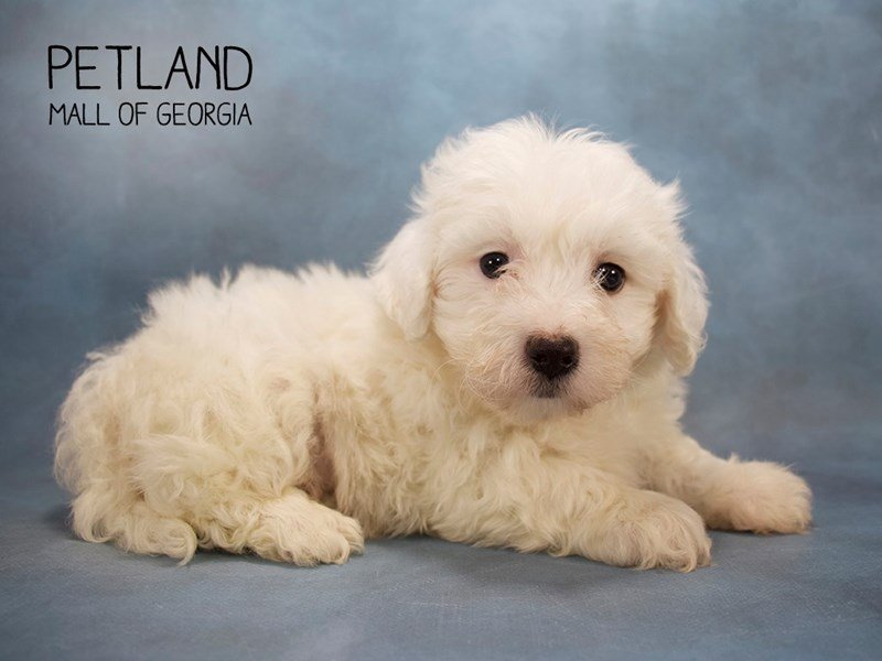 Maltichon-Male-WHITE-2212987-Petland Mall of Georgia