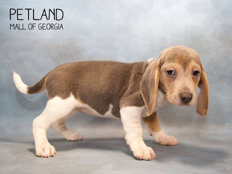Beagle-Female-BL TN & WH-2232453-Petland Mall of Georgia