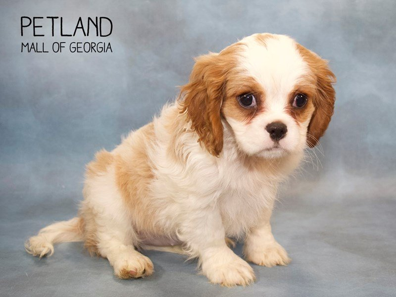 Cavalier King Charles Spaniel-Female-Bheim-2246203-Petland Mall of Georgia