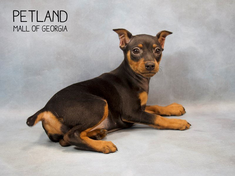 Miniature Pinscher-Female-Black / Tan-2245978-Petland Mall of Georgia