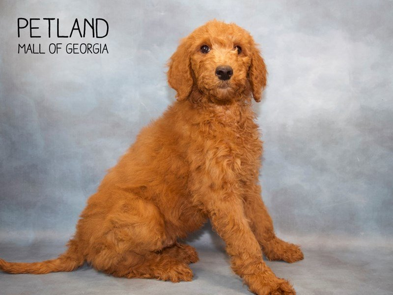 Goldendoodle 2nd Gen-Male-Red-2255050-Petland Mall of Georgia