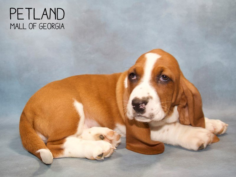 Basset Hound-Female-Red / White-2260607-Petland Mall of Georgia