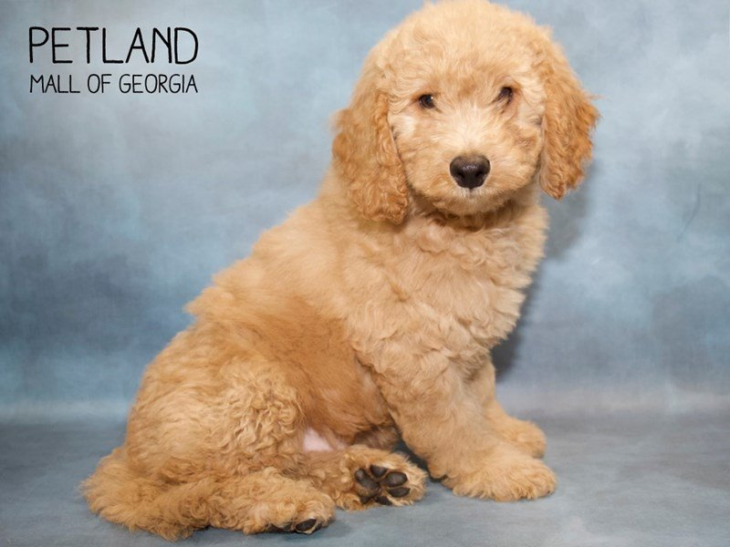 Mini Goldendoodle 2nd Gen-DOG-Male-Golden-2260599-Petland Mall of Georgia