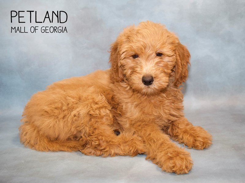 Mini Goldendoodle 2nd Gen-Female-Golden-2260598-Petland Mall of Georgia