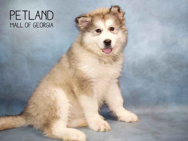 Alaskan Malamute-Female-GR & WH-2258969-Petland Mall of Georgia
