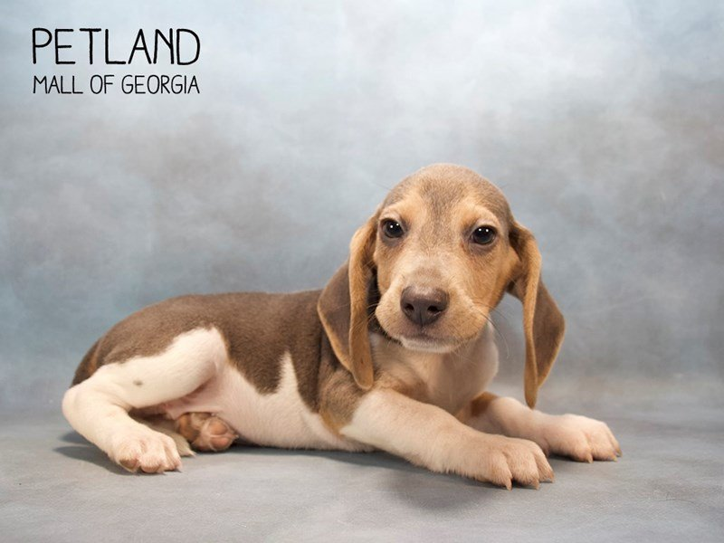 Beagle-DOG-Male-BL TN & WH-2232455-Petland Mall of Georgia