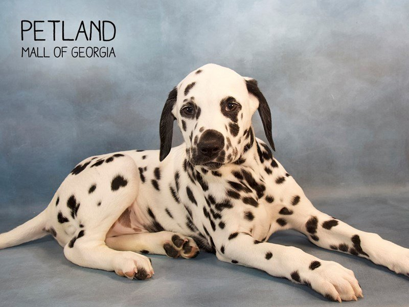 Dalmatian-Male-White / Black-2240326-Petland Mall of Georgia