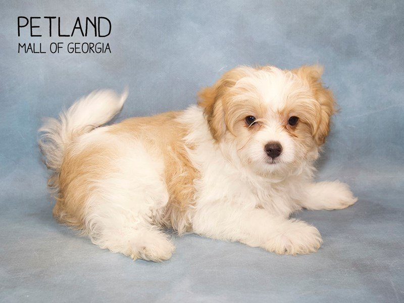 Pomapoo-Male-Apct:Prti-2246243-Petland Mall of Georgia