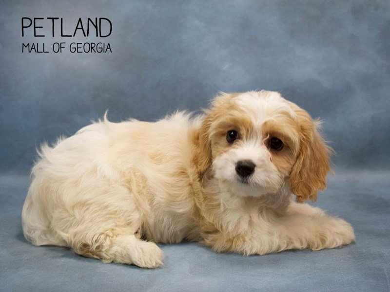 Cavachon-Female-BLENHEIM-2248917-Petland Mall of Georgia