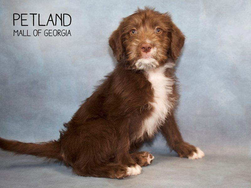 Labradoodle-Male-Chocolate-2255052-Petland Mall of Georgia
