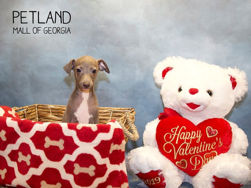Italian Greyhound-Male-Blue-2275657-Petland Mall of Georgia