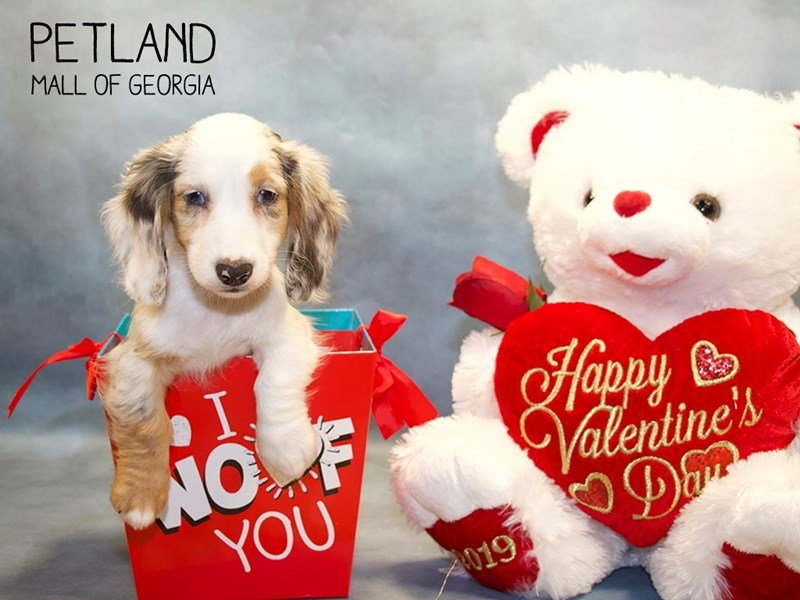 Dachshund-DOG-Female-Blue Merle-2275610-Petland Mall of Georgia