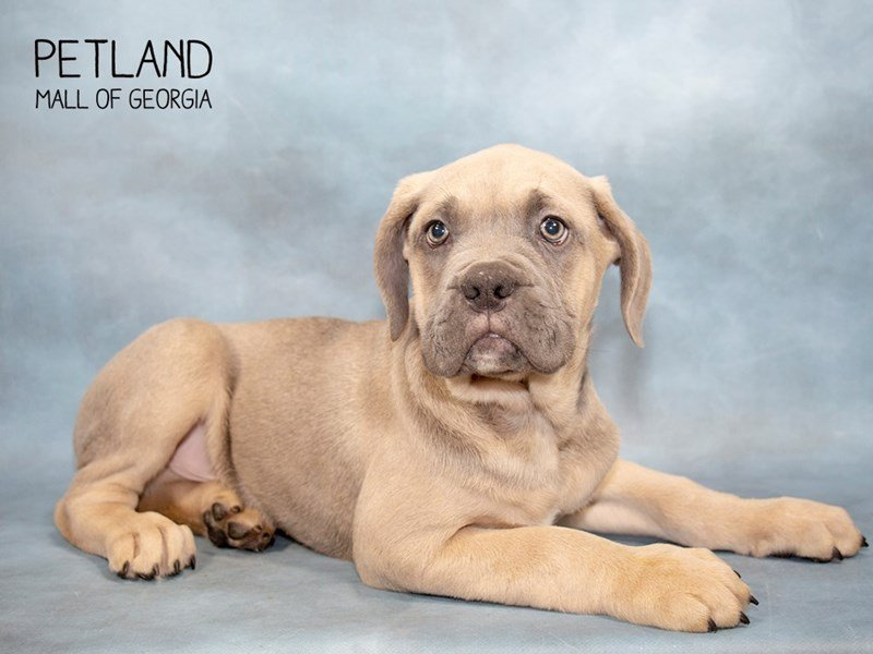 Cane Corso-Male-Blue Fawn-2287313-Petland Mall of Georgia