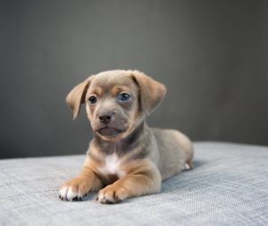 chiweenies for sale