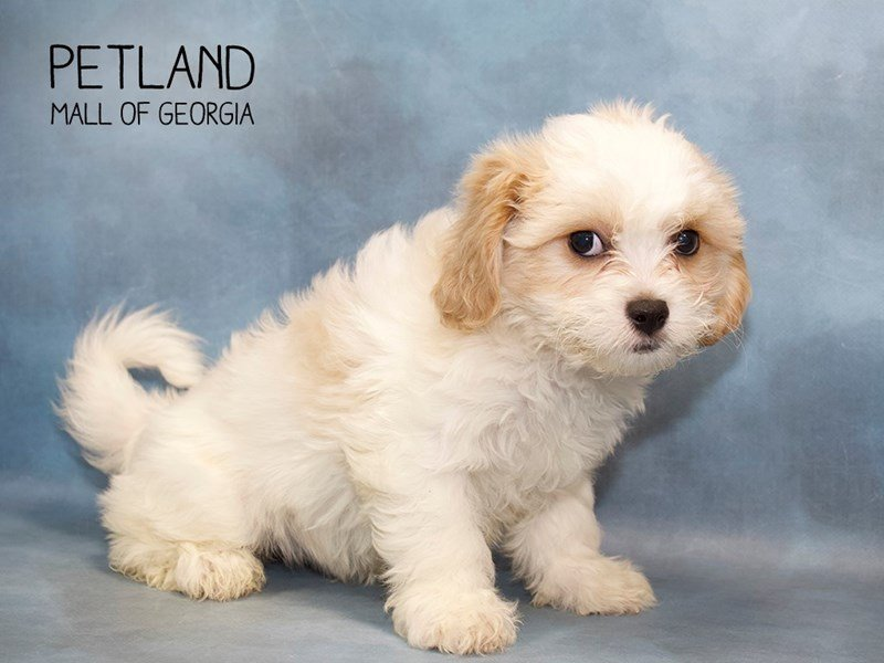 Cavachon-Female-Blenheim-2249104-Petland Mall of Georgia