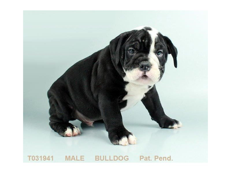 English Bulldog-DOG-Male-BLK:WH MKGS-2275377-Petland Mall of Georgia