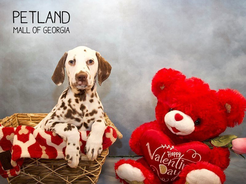 Dalmatian-Male-Chocolate / White-2275602-Petland Mall of Georgia