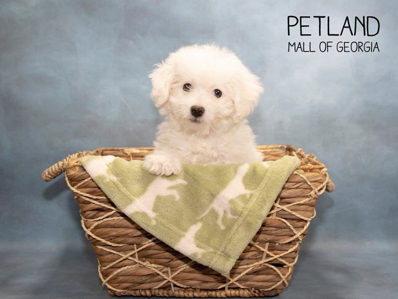 Bichon Frise-Female-White-2281545-Petland Mall of Georgia