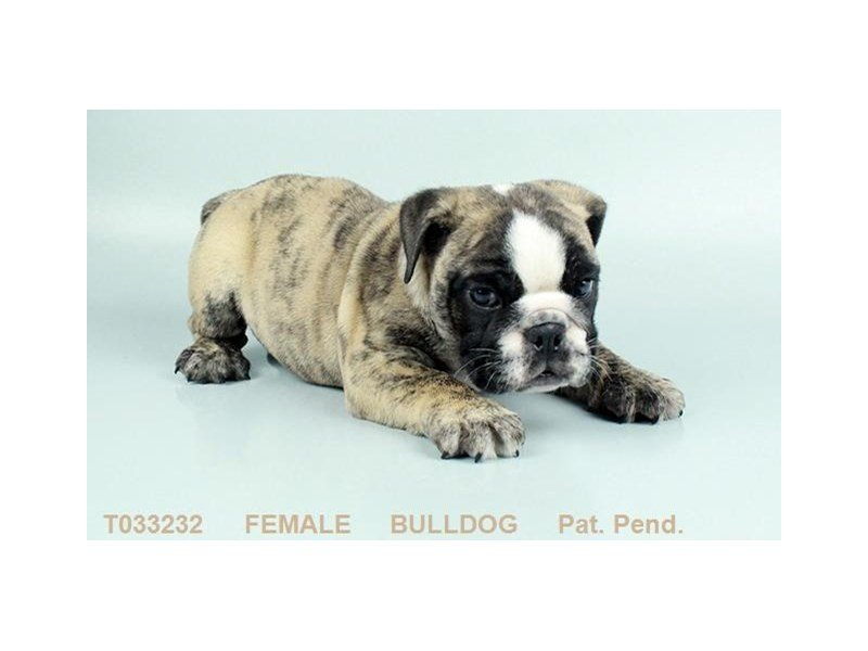 English Bulldog-DOG-Female-FN & BRDL-2291505-Petland Mall of Georgia