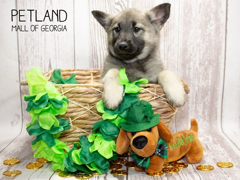 Norwegian Elkhound-Female-Gray Black / Silver-2291974-Petland Mall of Georgia