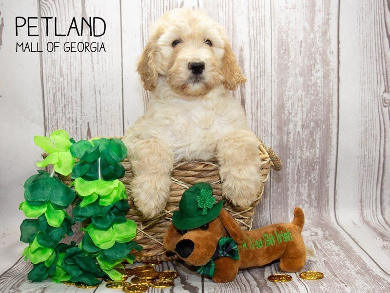 Goldendoodle 2nd Gen-Female-Cream-2291964-Petland Mall of Georgia