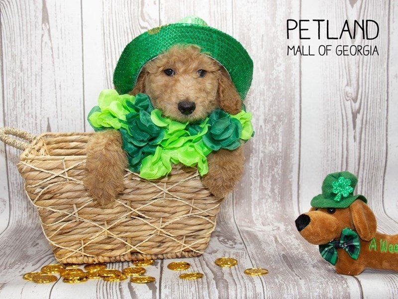 Goldendoodle-Male-Apricot-2291960-Petland Mall of Georgia