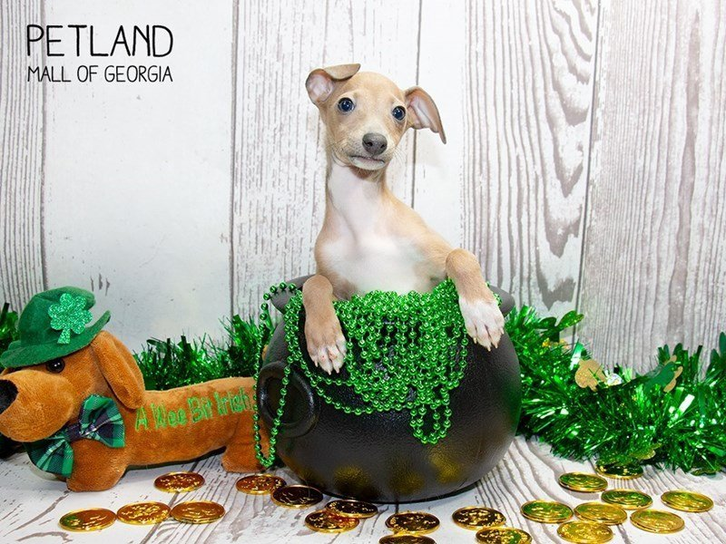 Italian Greyhound-Female-Blue Fawn-2297641-Petland Mall of Georgia