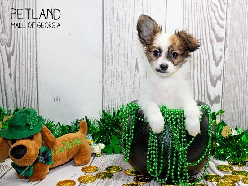 Papillon-Male-White / Brown-2297639-Petland Mall of Georgia
