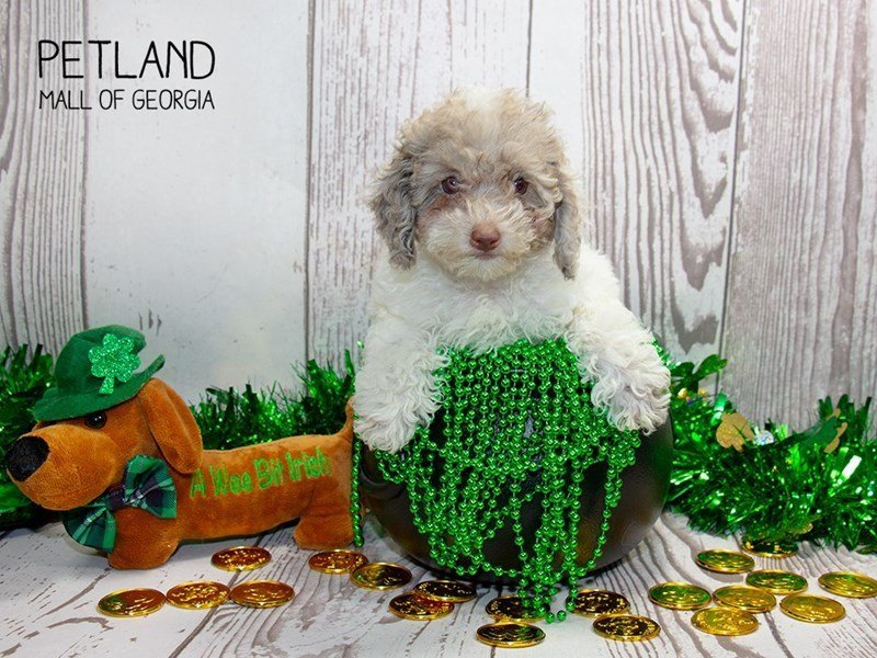 Miniature Poodle-Female-White-2297652-Petland Mall of Georgia
