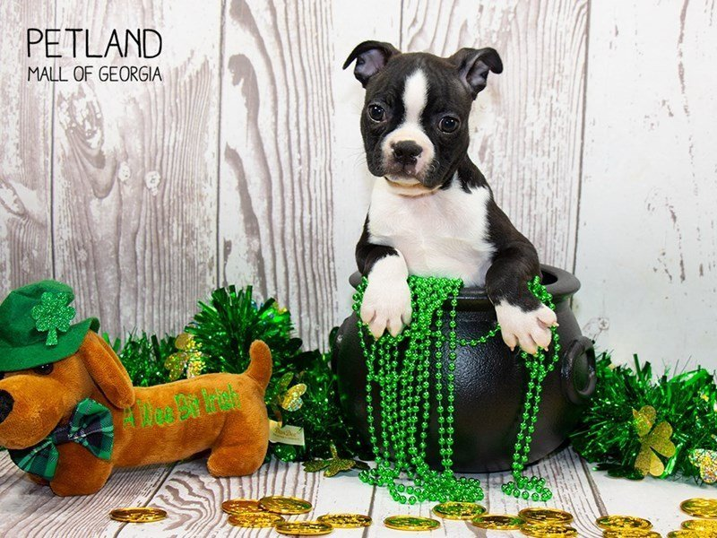 Boston Terrier-DOG-Male-Black / White-2303094-Petland Mall of Georgia