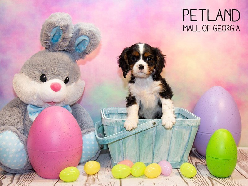Cavalier King Charles Spaniel-Male-Tri-Colored-2309634-Petland Mall of Georgia