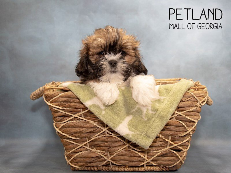 Lhasa Apso-Male-Red Sable-2281549-Petland Mall of Georgia