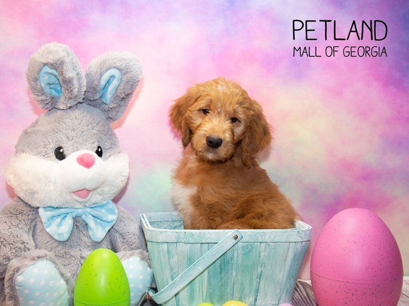 Goldendoodle-DOG-Male-Dark Red-2308042-Petland Mall of Georgia