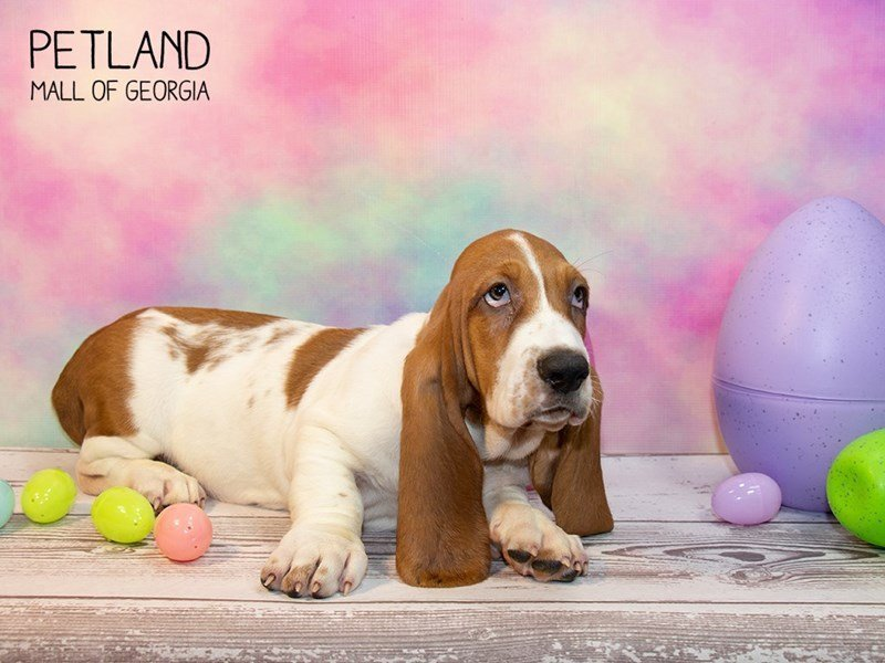 Basset Hound-Male-White / Red-2314180-Petland Mall of Georgia
