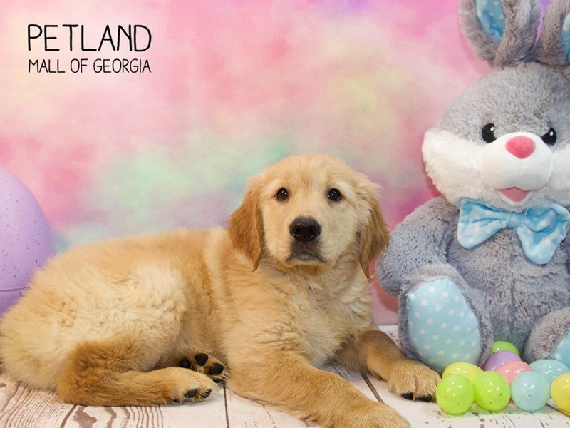 Golden Retriever-Male-Golden-2319710-Petland Mall of Georgia