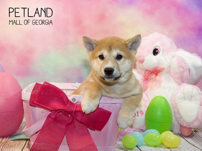 Shiba Inu-Female-Red Sesame-2319661-Petland Mall of Georgia