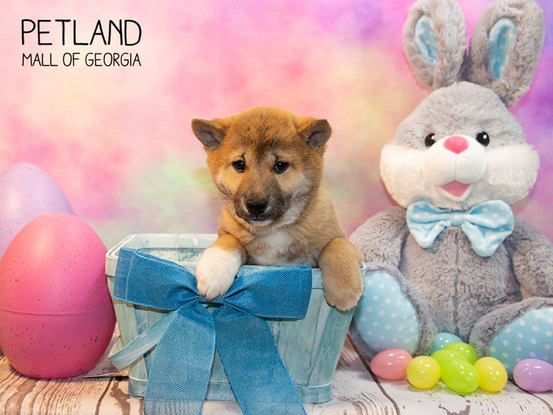 Shiba Inu-Male-Red Sesame-2319662-Petland Mall of Georgia