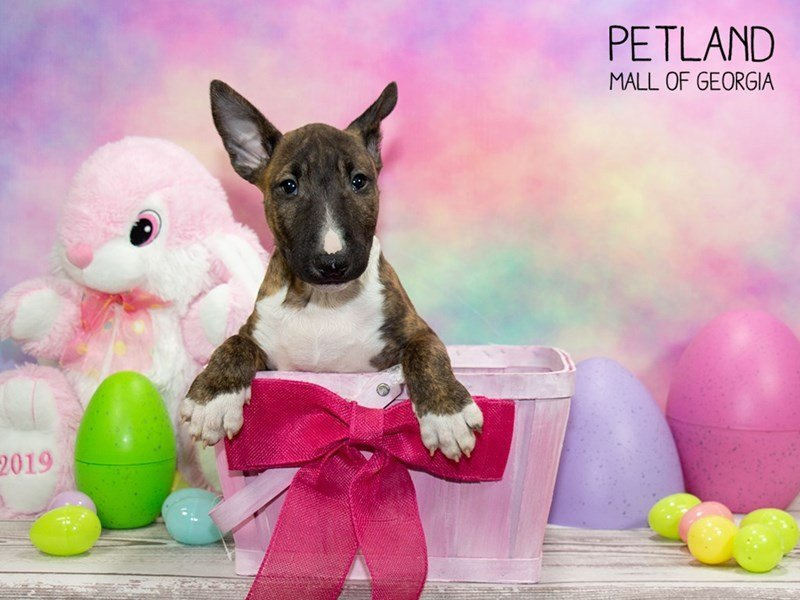 Bull Terrier-Female-brindle white-2324325-Petland Mall of Georgia