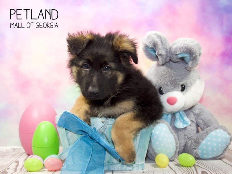 German Shepherd-Male-Black and Tan-2329732-Petland Mall of Georgia