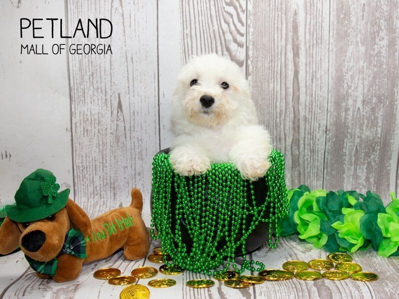 Bichon Frise-Male-White-2291971-Petland Mall of Georgia