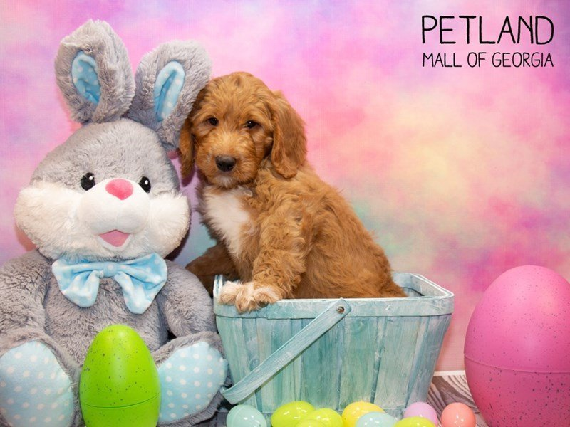 Goldendoodle-Male-Red-2308044-Petland Mall of Georgia