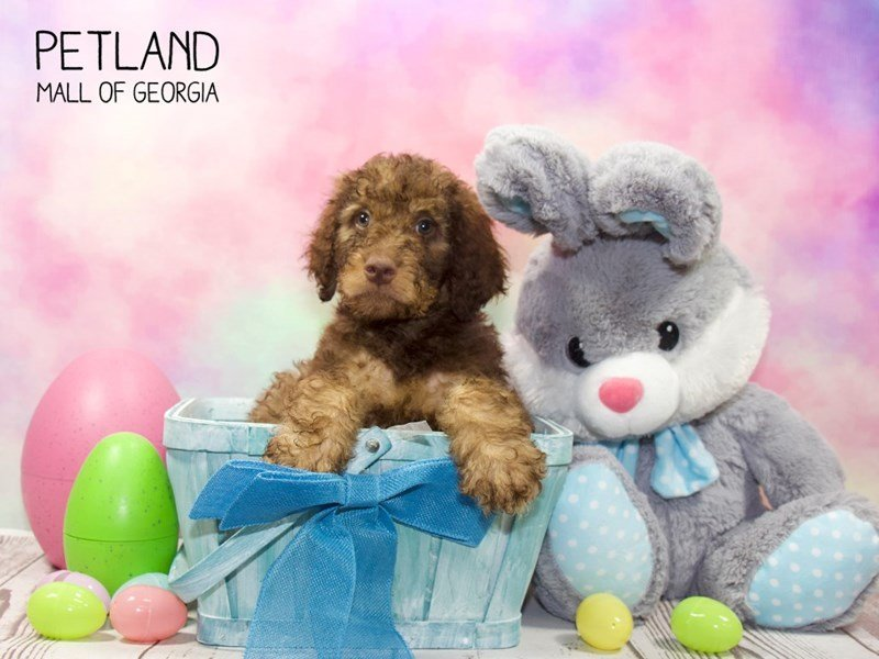 Goldendoodle-Male-choc-2329814-Petland Mall of Georgia