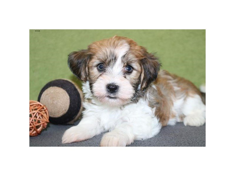 Havanese-Male-Brown / White-2335448-Petland Mall of Georgia