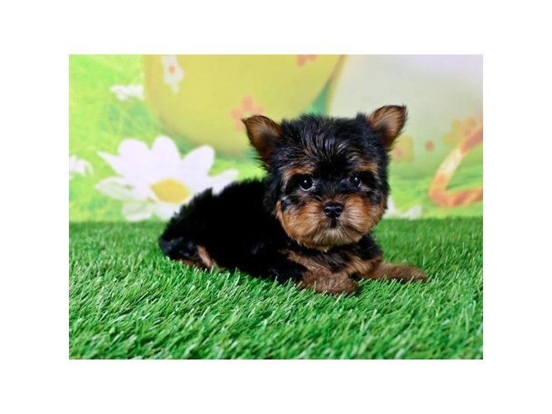 Yorkshire Terrier-Male-Black / Tan-2335477-Petland Mall of Georgia