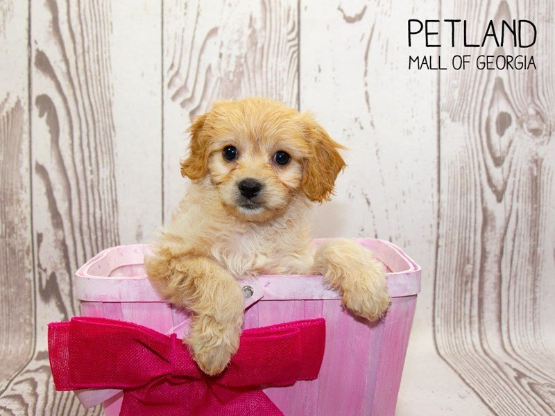 Cavachon-Female-wh & br-2342666-Petland Mall of Georgia