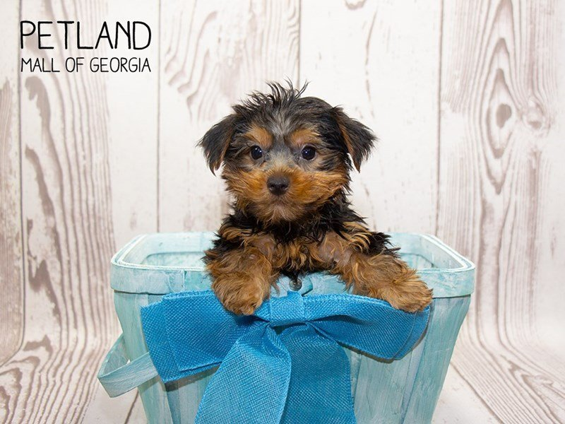 Yorkshire Terrier-Male-blk & tn-2342660-Petland Mall of Georgia