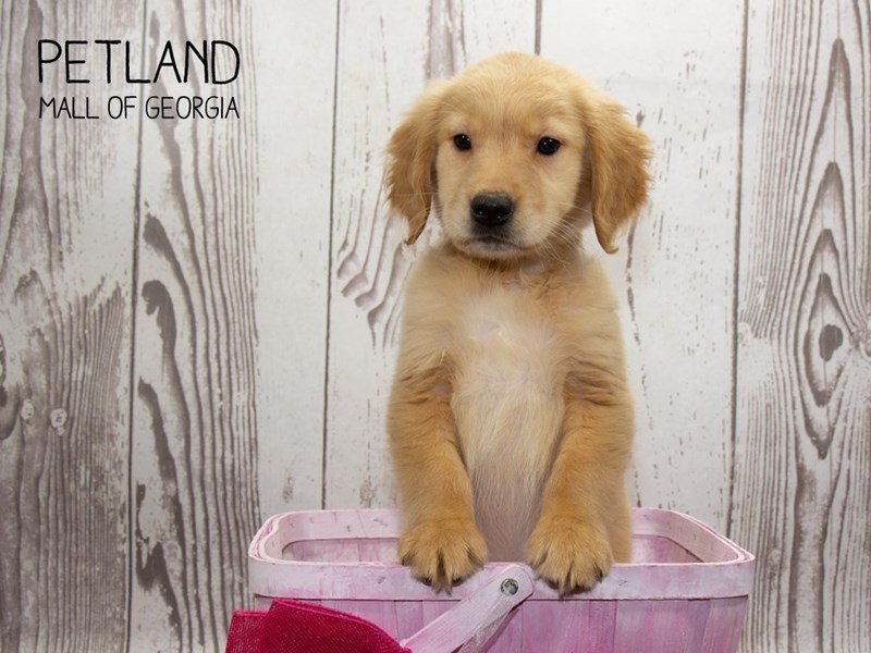 Golden Retriever-Female-Light Golden-2341886-Petland Mall of Georgia