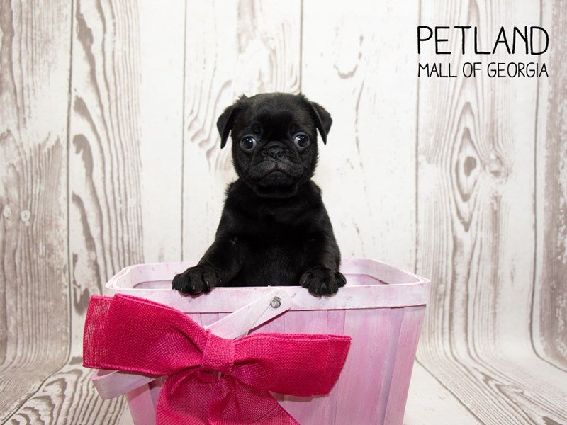 Pug-Female-Black-2340213-Petland Mall of Georgia